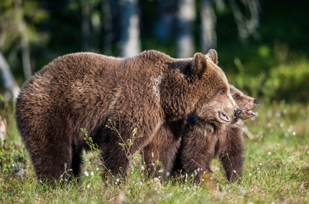 arctos: She-Bear and Cub of Brown bear (Ursus Arctos Arctos) in the summer forest. Natural green Background