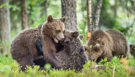 arctos: The Cubs of Brown bears (Ursus Arctos Arctos)  playfully fighting, The summer forest. Natural green Background