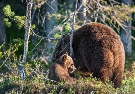 widespread: She-Bear and Cub of Brown bear (Ursus Arctos Arctos) in the summer forest. Natural green Background