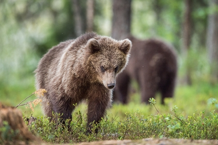 Cubs of Brown bear (Ursus Arctos Arctos) in the summer forest. Natural green Background Stock Photo