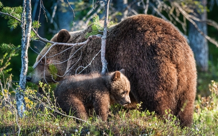 She-Bear and Cub of Brown bear (Ursus Arctos Arctos) in the summer forest. Natural green Background