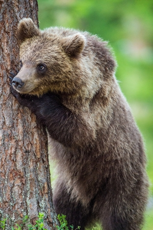 widespread: Close up Portrait of Cub of Brown bear (Ursus Arctos Arctos) in the summer forest. Natural green Background