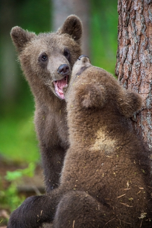 widespread: Cubs of Brown bear (Ursus Arctos Arctos) in the summer forest. Natural green Background Stock Photo