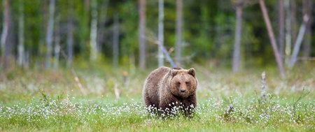 Wild Brown bear (Ursus Arctos Arctos) in the summer forest. Natural green Background Stock Photo