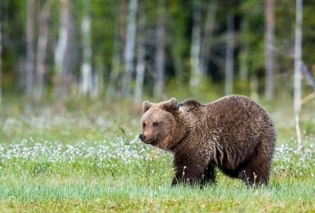 Wild Brown bear (Ursus Arctos Arctos) in the summer forest. Natural green Background Stock Photo