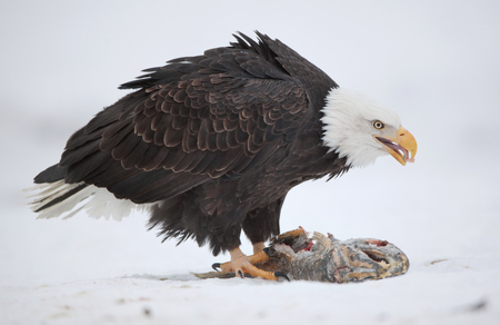 haliaeetus leucocephalus: The Bald eagle ( Haliaeetus leucocephalus ) sits on snow and eats a salmon fish.
