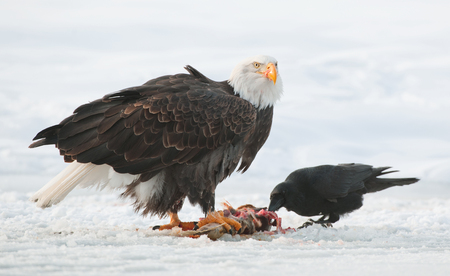 The Raven and Bald eagle ( Haliaeetus leucocephalus ) sits on snow and eats a salmon fish.
