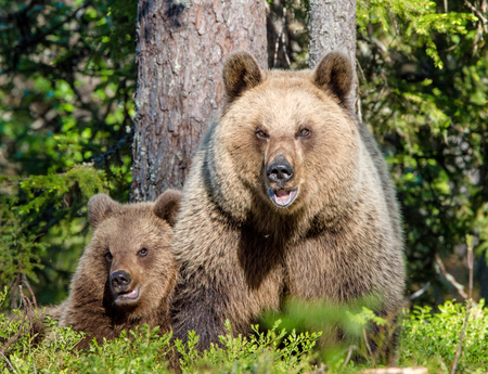 arctos: She-Bear and Cubs of Brown bear (Ursus Arctos Arctos) in the summer forest. Natural green Background