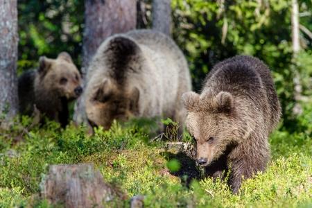 Portrait of Cub of Wild Brown bear (Ursus Arctos Arctos) in the summer forest. Natural green Background
