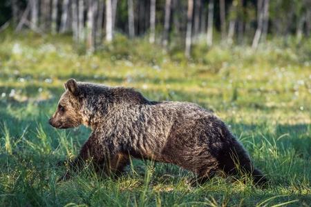 wild brown bear: Wild Brown bear (Ursus Arctos Arctos) in the summer forest. Natural green Background Stock Photo