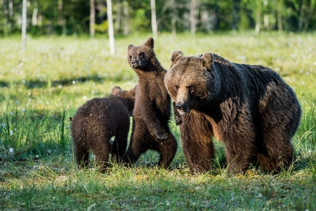 Bear cubs hide for a she-bear. Bear and Cubs of Brown bear (Ursus Arctos Arctos) in the summer forest. Natural green Background
