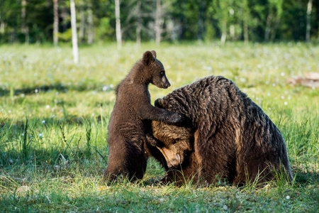 arctos: Bear cubs hide for a she-bear. Bear and Cubs of Brown bear (Ursus Arctos Arctos) in the summer forest. Natural green Background