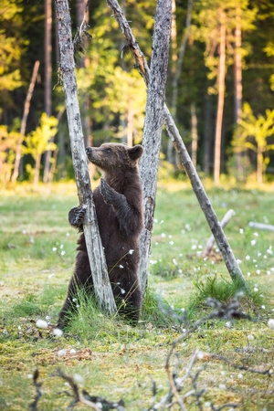 arctos: Bear cub stood up on its hind legs. Cub of Brown bear (Ursus Arctos Arctos) in the summer forest. Natural green Background