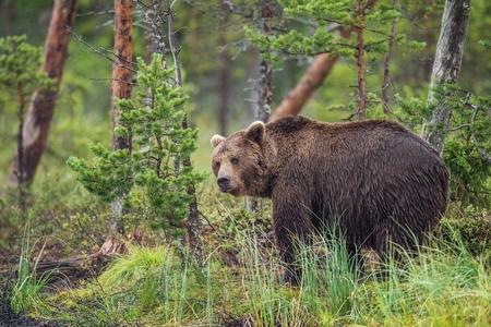cruel: Wild Brown bear (Ursus Arctos Arctos) in the summer forest. Natural green Background Stock Photo