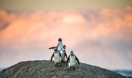 spheniscus demersus: African penguins on the boulder in sunset light sky. African penguin ( Spheniscus demersus) also known as the jackass penguin and black-footed penguin. Boulders colony. Cape Town. South Africa Stock Photo