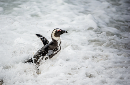 spheniscus demersus: African penguin walk out of the ocean in the foam of the surf. African penguin ( Spheniscus demersus) also known as the jackass penguin and black-footed penguin. Boulders colony. South Africa