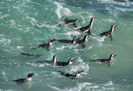 jackass: African penguins swim in the blue water of the ocean and foam of the surf.African penguin (Spheniscus demersus) also known as the jackass penguin and black-footed penguin.Boulders colony. South Africa