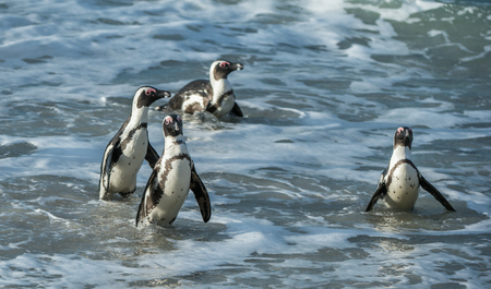 spheniscus demersus: African penguins walk out of the ocean on the sandy beach. African penguin ( Spheniscus demersus) also known as the jackass penguin and black-footed penguin. Boulders colony. Cape Town. South Africa