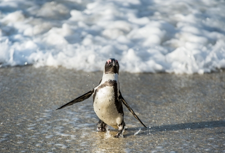 spheniscus demersus: African penguin walk out of the ocean on the sandy beach. African penguin ( Spheniscus demersus) also known as the jackass penguin and black-footed penguin. Boulders colony. Cape Town. South Africa