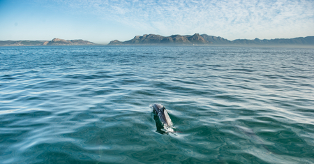 swimming dolphin in the ocean and hunting for fish. Dolphin jumping out of the water. The Long-beaked common dolphin (scientific name: Delphinus capensis) swimming in atlantic ocean.
