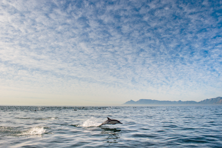 splash back: swimming dolphin in the ocean and hunting for fish. Dolphin jumping out of the water. The Long-beaked common dolphin (scientific name: Delphinus capensis) swimming in atlantic ocean.