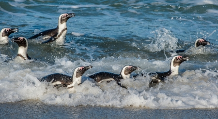 jackass: African penguins walk out of the ocean on the sandy beach. African penguin ( Spheniscus demersus) also known as the jackass penguin and black-footed penguin. Boulders colony. Cape Town. South Africa