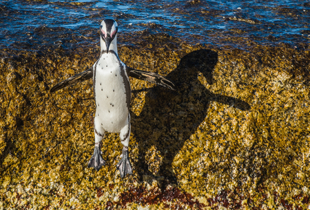 spheniscus demersus: African penguin jumping from rock in sunset light. African penguin ( Spheniscus demersus) also known as the jackass penguin and black-footed penguin. Boulders colony. South Africa
