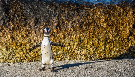 jackass: African penguin jumping from rock in sunset light. African penguin ( Spheniscus demersus) also known as the jackass penguin and black-footed penguin. Boulders colony. South Africa