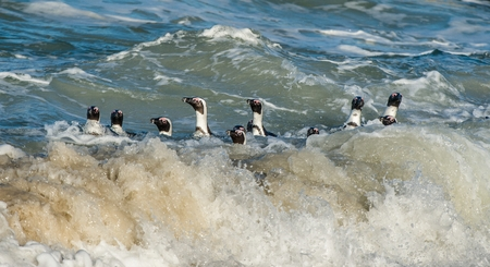spheniscus demersus: African penguins swim in the blue water of the ocean and foam of the surf.African penguin (Spheniscus demersus) also known as the jackass penguin and black-footed penguin.Boulders colony. South Africa