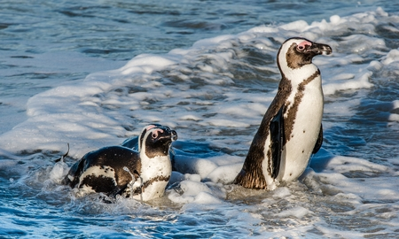 penguins on beach: African penguins walk out of the ocean on the sandy beach. African penguin ( Spheniscus demersus) also known as the jackass penguin and black-footed penguin. Boulders colony. Cape Town. South Africa