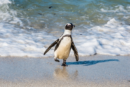 African penguin walks out of the ocean on the sandy beach. African penguin (Spheniscus demersus) also known as the jackass penguin and black-footed penguin. Boulders colony. Cape Town. South Africa