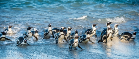 African penguin walk out of the ocean on the sandy beach. African penguin (Spheniscus demersus) also known as the jackass penguin and black-footed penguin. Boulders colony. South Africa