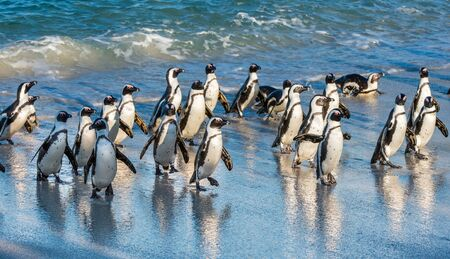 African penguins walk out of the ocean on the sandy beach. African penguin (Spheniscus demersus) also known as the jackass penguin and black-footed penguin. Boulders colony. Cape Town. South Africa