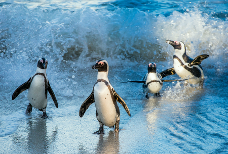 jackass: African penguin walk out of the ocean in the foam of the surf. African penguin ( Spheniscus demersus) also known as the jackass penguin and black-footed penguin. Boulders colony. South Africa