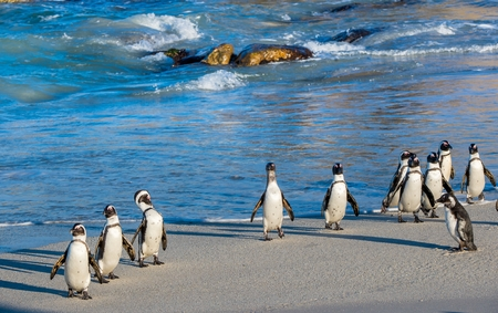 African penguins (Spheniscus demersus). African penguins walk out of the ocean on the sandy beach. African penguin (Spheniscus demersus) also known as the jackass penguin and black-footed penguin. South Africa