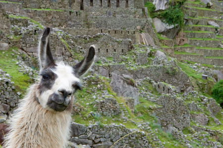 A Lama grazing in a terrace with Machu Picchu and surrounding mountains in the background. Llama in front of Huayna Picchu, the famous mountain at the lost Inca city Machu Picchu in Peru.