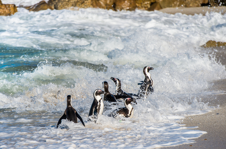 flightless: African penguin walk out of the ocean in the foam of the surf. African penguin ( Spheniscus demersus) also known as the jackass penguin and black-footed penguin. Boulders colony. South Africa