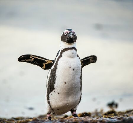 jackass: African penguin (spheniscus demersus) at the Boulders colony. Also known as the jackass penguin and black-footed penguin.South Africa