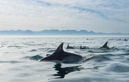 Grupo de delfines, nadando en el océano y buscando peces. Los delfines nadan y saltan del agua. El delfín común de pico largo (nombre científico: Delphinus capensis) en el océano Atlántico.