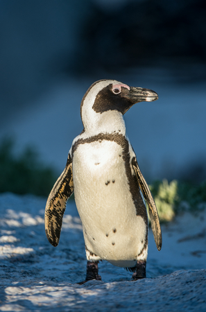 African penguin (spheniscus demersus) at the Boulders colony. Also known as the jackass penguin and black-footed penguin.South Africa;