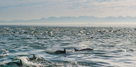 chordata: Group of dolphins, underwater swimming in the ocean and hunting for fish. The Long-beaked common dolphin ( Delphinus capensis ) swim in atlantic ocean. Blue water background