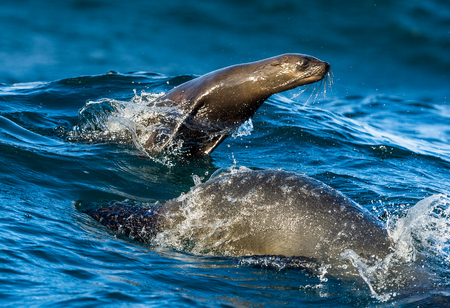 Seals swim and jumping out of water . Jumping Cape fur seal (Arctocephalus pusillus pusillus).