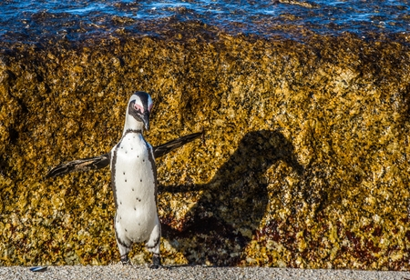 African penguin jumping from rock in sunset light. African penguin ( Spheniscus demersus) also known as the jackass penguin and black-footed penguin. Boulders colony. South Africa