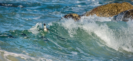 African penguins swim in the blue water of the ocean and foam of the surf.African penguin (Spheniscus demersus) also known as the jackass penguin and black-footed penguin.Boulders colony. South Africa