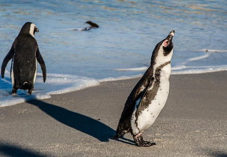 Portrait of African penguin shake off on the sandy beach in sunlight.  African penguin ( Spheniscus demersus) also as the jackass penguin and black-footed penguin. Boulders colony. South Africa Stock Photo