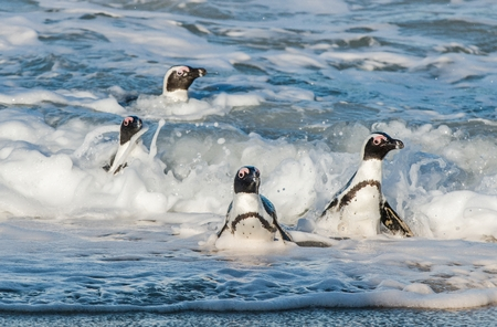 African penguins walk out of the ocean on the sandy beach. African penguin ( Spheniscus demersus) also known as the jackass penguin and black-footed penguin. Boulders colony. Cape Town. South Africa