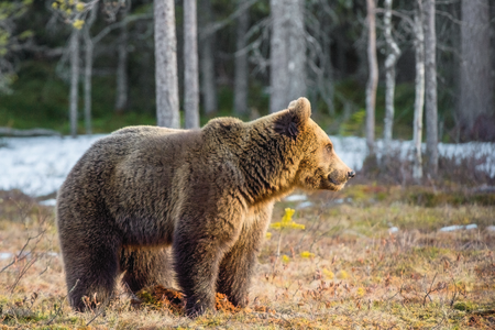 Wild Juvenile Brown Bear (Ursus arctos) on a bog in spring forest. Stock Photo