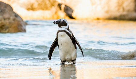 penguins on beach: African penguin  on the sandy beach. African penguin ( Spheniscus demersus) also known as the jackass penguin and black-footed penguin. Boulders colony. Cape Town. South Africa