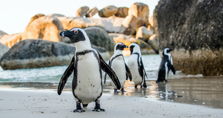 flightless: African penguin  on the sandy beach. African penguin ( Spheniscus demersus) also known as the jackass penguin and black-footed penguin. Boulders colony. Cape Town. South Africa