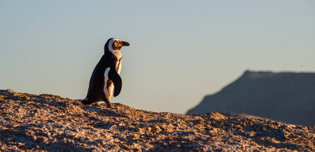 jackass: African penguin  on the big boulder in sunset light. African penguin ( Spheniscus demersus) also known as the jackass penguin and black-footed penguin. Boulders colony. Cape Town. South Africa Stock Photo